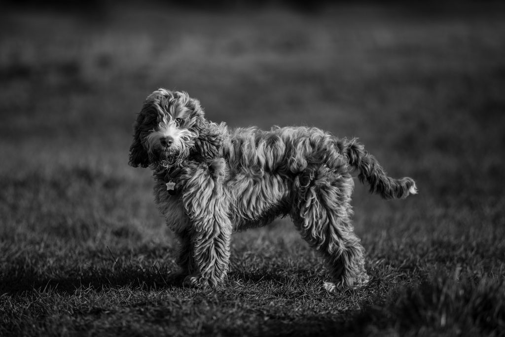 dog black and white pet photography