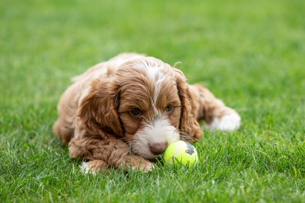 puppy laying with ball pet photograph