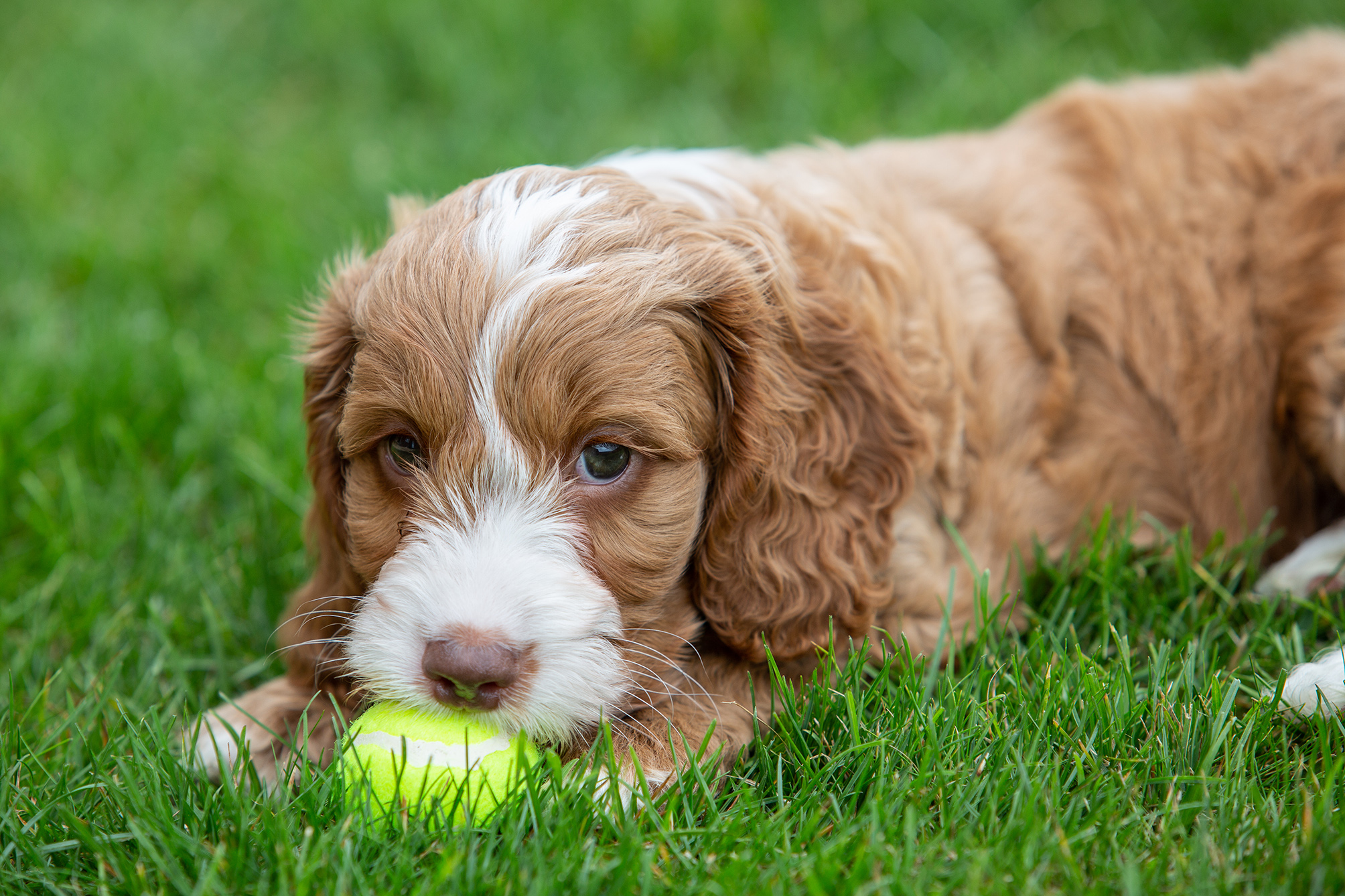 puppy and ball on grass
